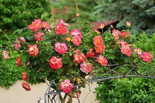 Wie sich der Blumenschmuckwettbewerb Friesenheim verändert hat