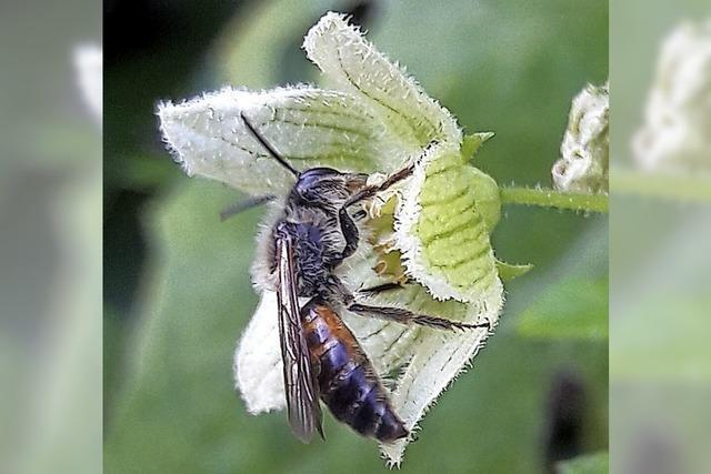 Seltene Biene fühlt sich wohl