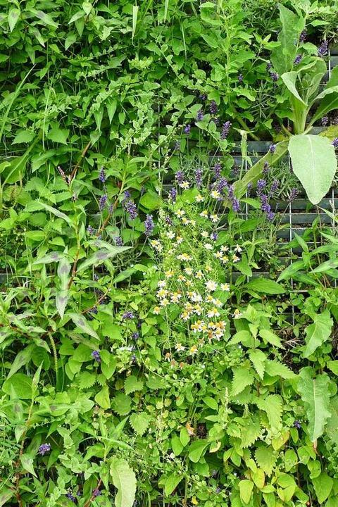 Lavendel, Kamille und viele weitere Pf...h an ihrem neuen Platz wohl zu fühlen.  | Foto: Gerold Zink