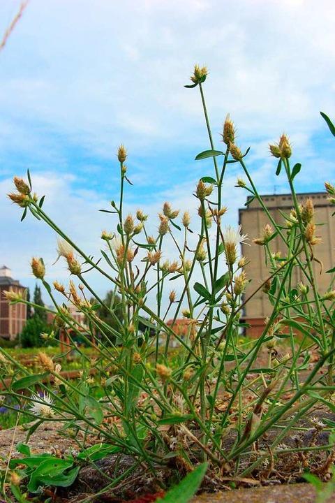Sparrige Flockenblume im Hafen von Magdeburg  | Foto: imago stock&people