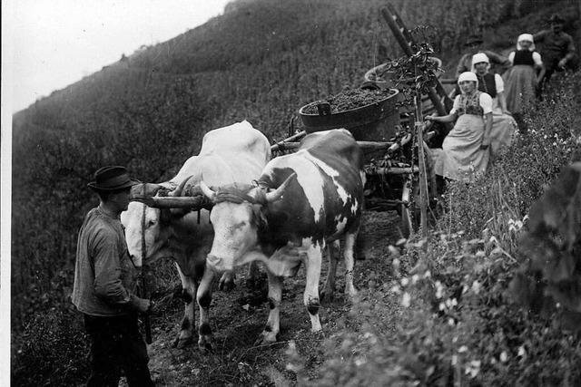 Wie der Wein vor mehr als 430 Jahren ins Glottertal kam