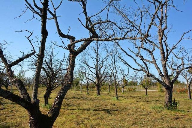 Weil am Rhein hält nach neuen Baumarten Ausschau