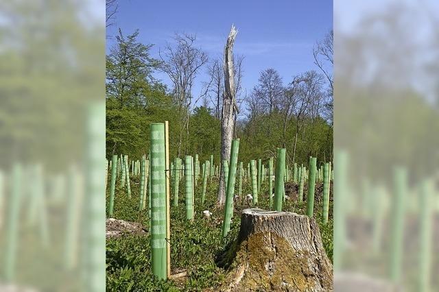 Aufbau eines Mischwaldes hat für Merdingen Vorrang