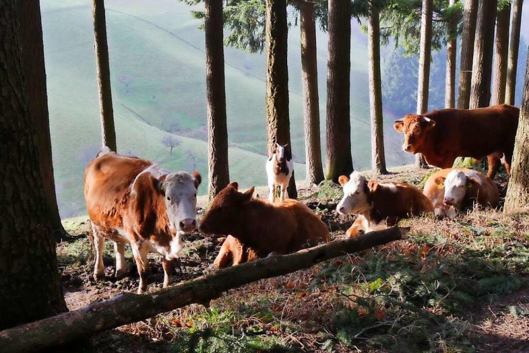 Kühe mit Ziege.  | Foto: Annemarie Krebs