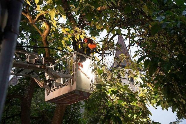 Prächtiger Blauglockenbaum verursacht Einsatz der Müllheimer Feuerwehr