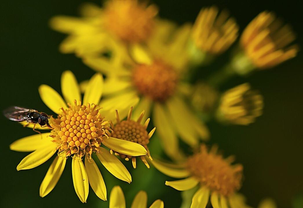 Das Jakobskreuzkraut ist giftig für We...rungsquelle für Bienen und Insekten.    | Foto: Felix Kästle (dpa)