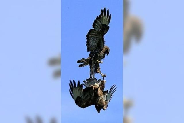 Jungvögel im Luftkampf