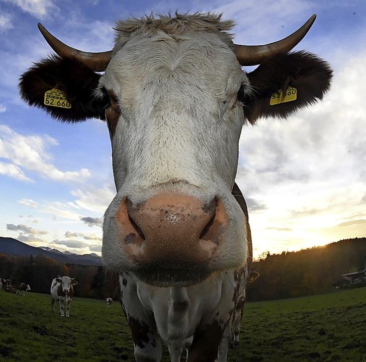 Ein Bauer soll seine Kühe vernachlässi...war der Fall vor Gericht (Symbolbild).  | Foto: Felix Hörhager