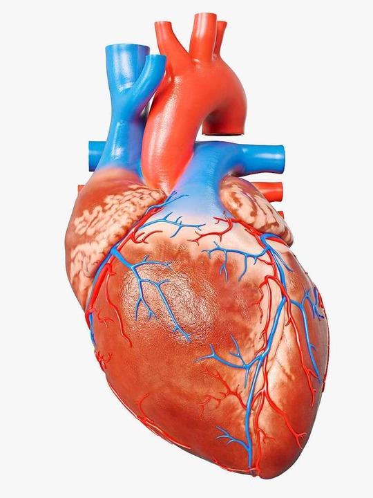 Das Herz  | Foto: SciePro (stock.adobe.com)