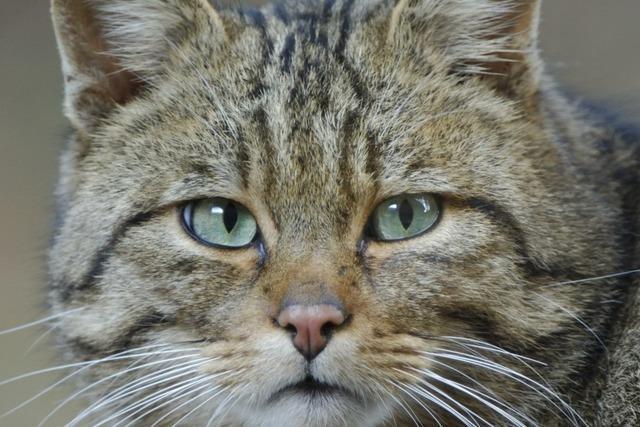 Die Wildkatze galt in Baden-Württemberg als ausgestorben – jetzt ist sie zurück
