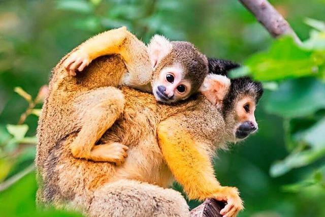 Im Basler Zoo gibt es jetzt noch mehr Affen