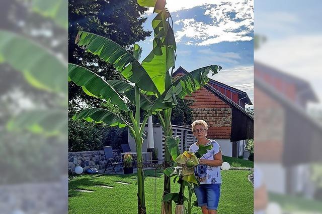 Wo eine Bananenstaude im Garten gedeiht