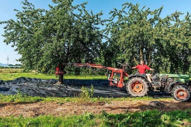 Süßkirschen-Ernte in der Ortenau fällt um ein Drittel geringer aus