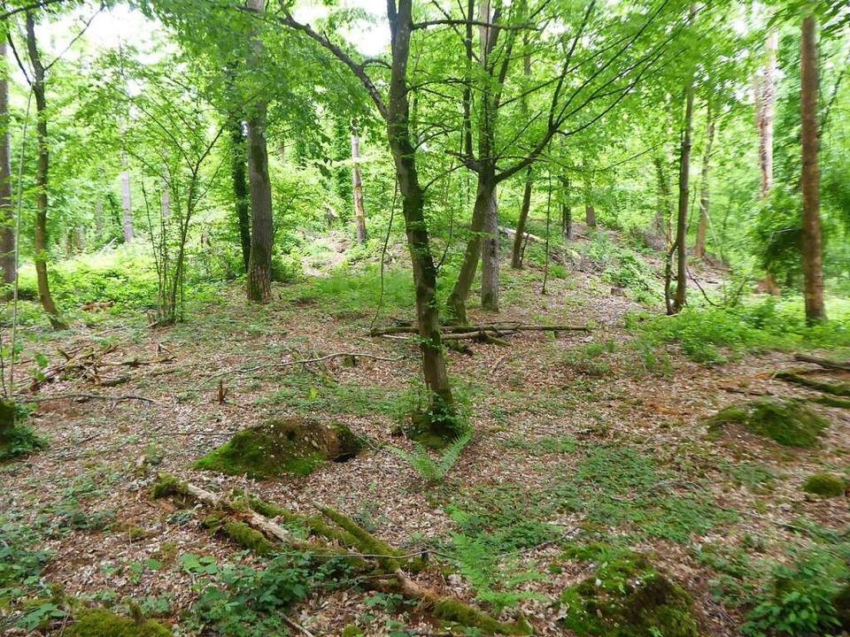 Keltischer Grabhügel im Zwölferholz zw... besser erhalten als auf Ackerflächen.  | Foto: Manfred Frietsch