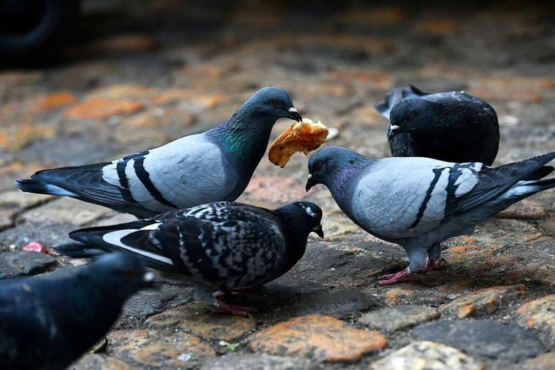 In Rheinfelden sind Tauben gezwungen, ...#8211; eine Initiative kritisiert das.    Foto: Thomas Kunz