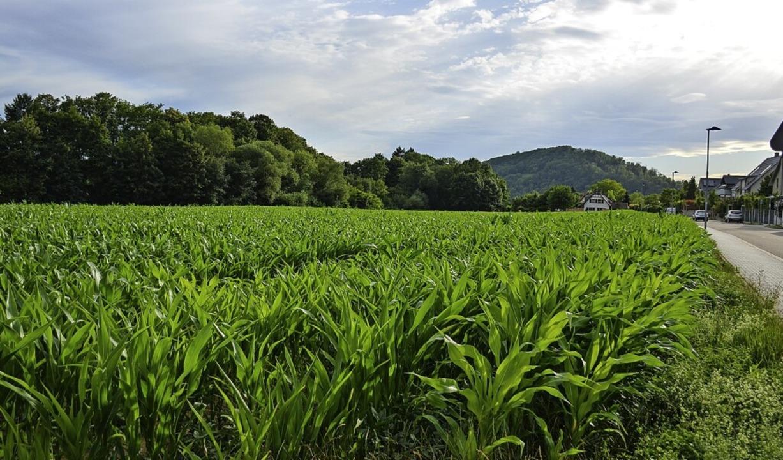 Wo heute noch Getreide wächst, sollen 2022 die Bauarbeiten beginnen.  | Foto: Gabriele Hennicke
