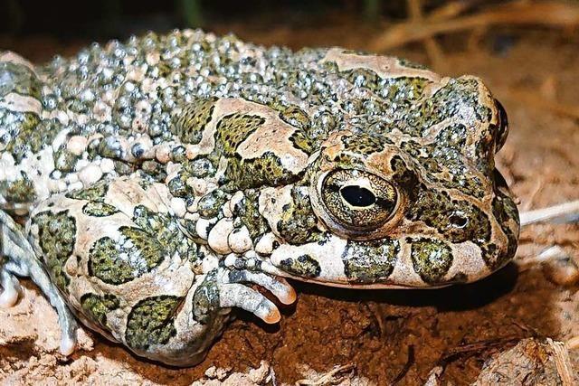 Die seltenen Wechselkröten machen sich in March durch lautstarkes Rufen bemerkbar