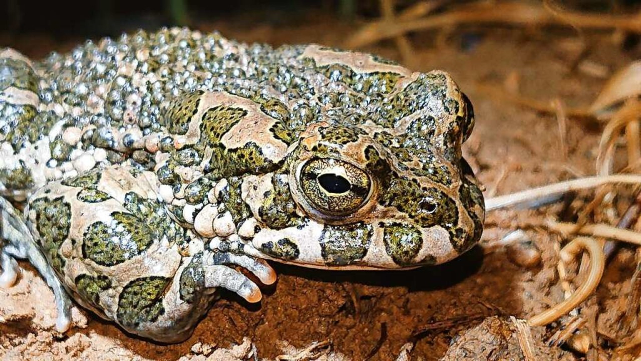 Die Wechselkröte gilt als Chamäleon unter den Kröten.    Foto: Reinhold Treiber