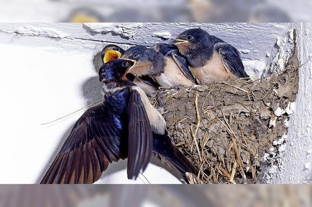 Schwalben als Insektenschutz