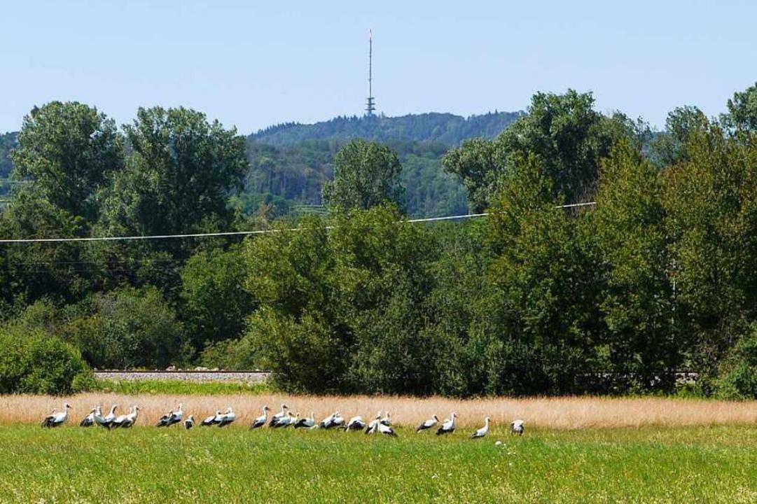 Im Wasenweiler Ried rasten auch immer wieder gerne Störche.    Foto: Peter Lutz (SWV)