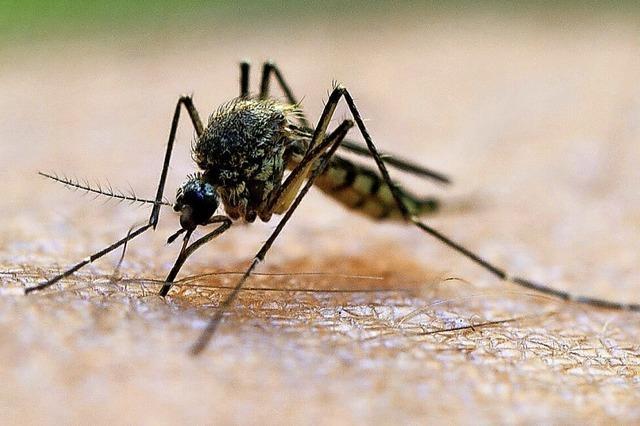 Nach dem Hochwasser kommen die Stechmücken