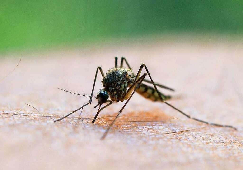 Eine Mücke saugt Blut aus dem Arm eines Mannes.    Foto: Patrick Pleul