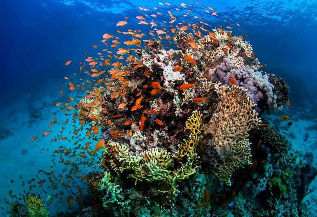 Das  Great Barrier Reef vor Australien leidet.  | Foto: James Cook University (dpa)
