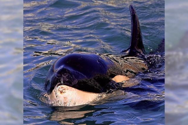 Trauer um gestrandetes Orca-Baby