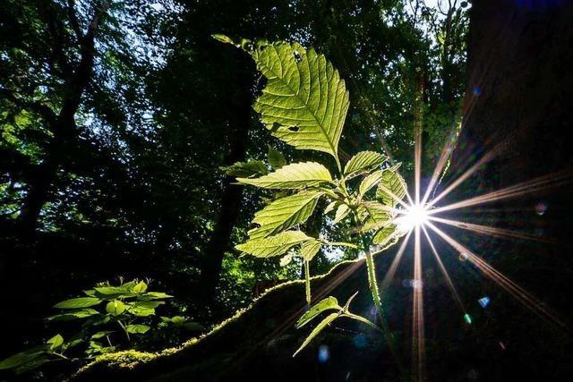 Wie kann der Wald im Kreis Lörrach fit für die Zukunft gemacht werden?
