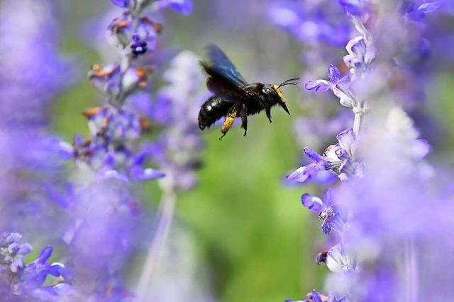 Ein Imker und Wildbienenexperte erzählt, was es braucht, um die Wildbiene zu schützen