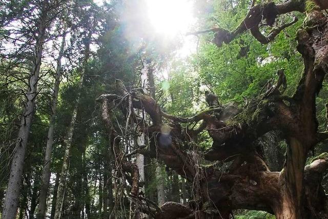 Bannwälder sind das letztes Stückchen Wildnis in einer bewirtschafteten Natur