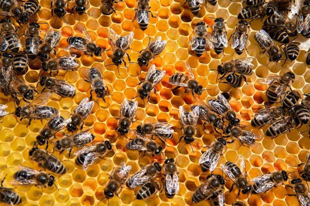 Bienengesundheit wird erforscht.  | Foto: Regula Wolf