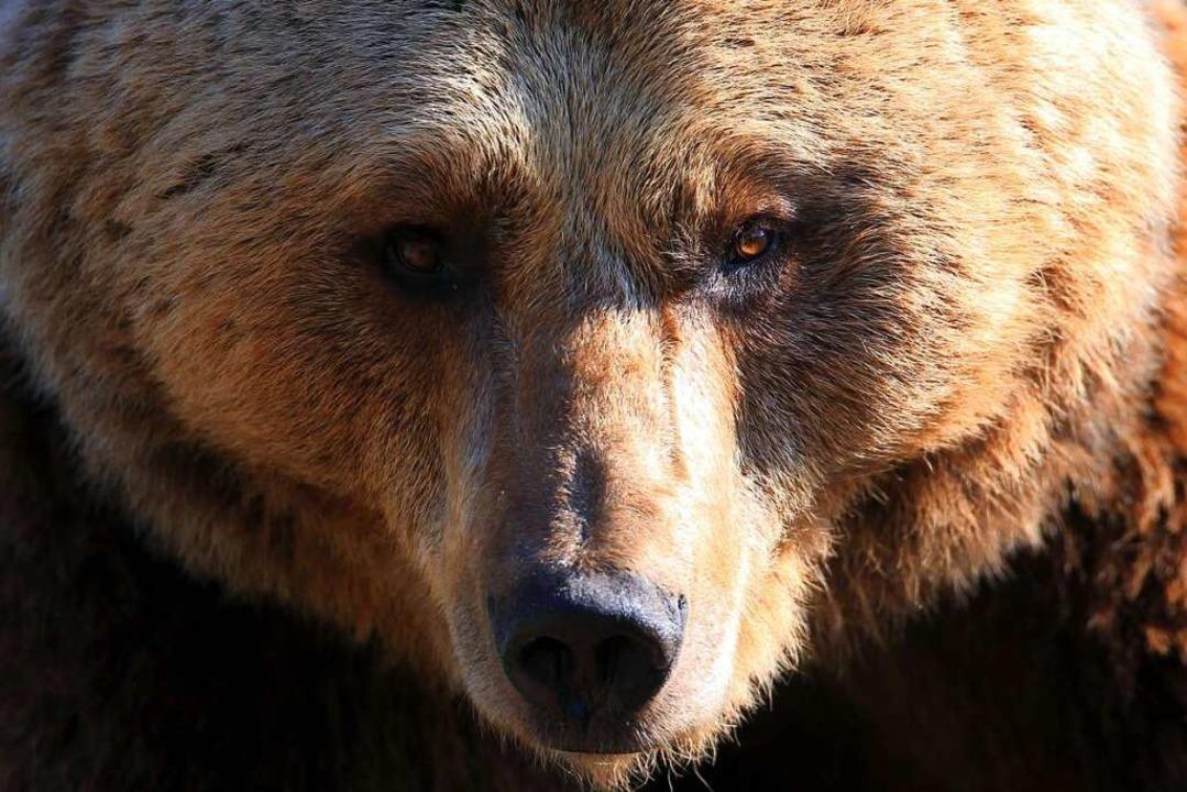 Ein Bär verletzte die Wissenschaftlerin schwer.    Foto: Jens Büttner