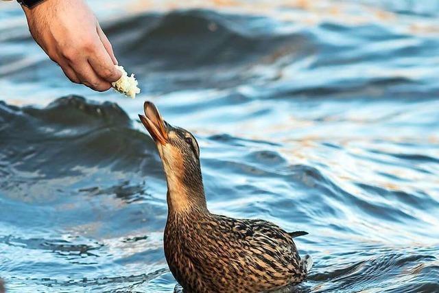 Wer künftig am Eisweiher Enten füttert, riskiert einen Strafzettel