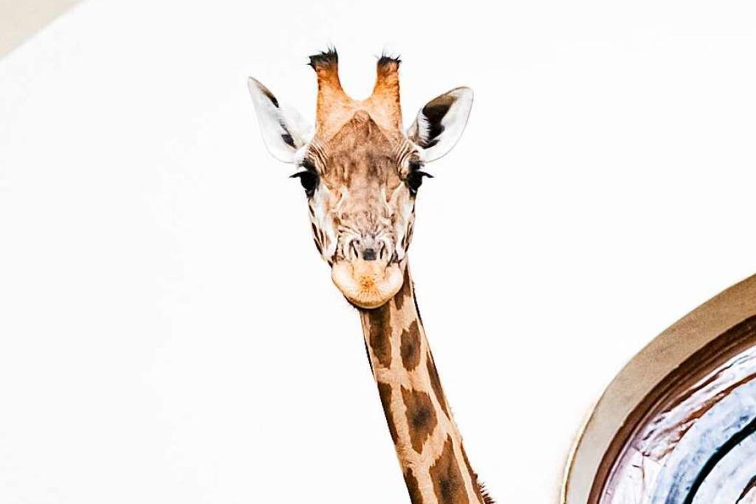 Giraffen fressen im Winter gerne gegorene Blätter: die Laubsilage  | Foto: Zoo Basel (Torben Weber)