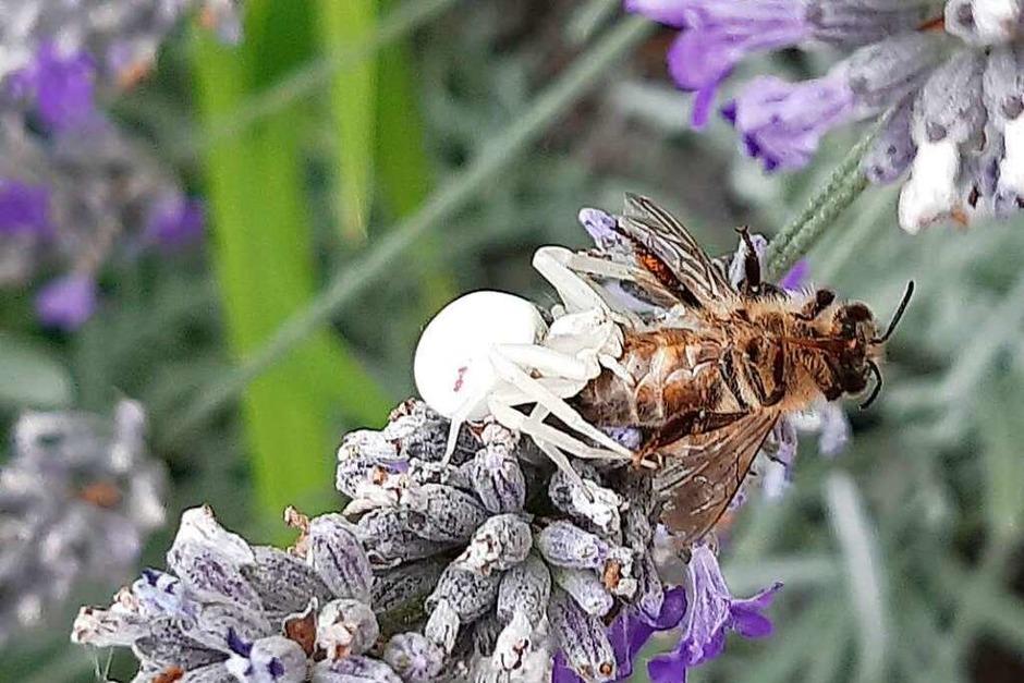 Das ist Natur: Eine weiße Witwe schnappt sich eine Biene, den Schnappschuss machte Reinhard Bührer. (Foto: Reinhard Bührer)