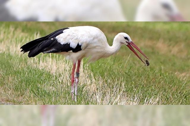 Weißer Storch mit weißen Beinen