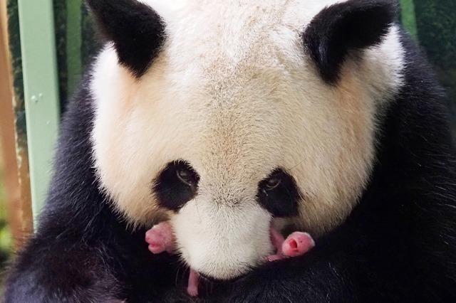 Pandazwillinge in französischem Zoo