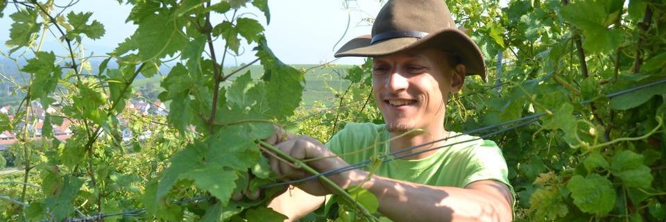 Auf Umwegen zum Weingut: Drei Freiburger arbeiten jetzt als Rebhelfer