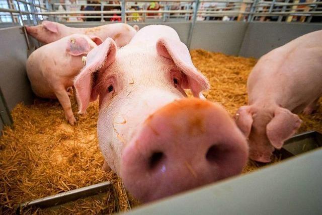 Schweineställe im Land werden nur alle 11,5 Jahre kontrolliert
