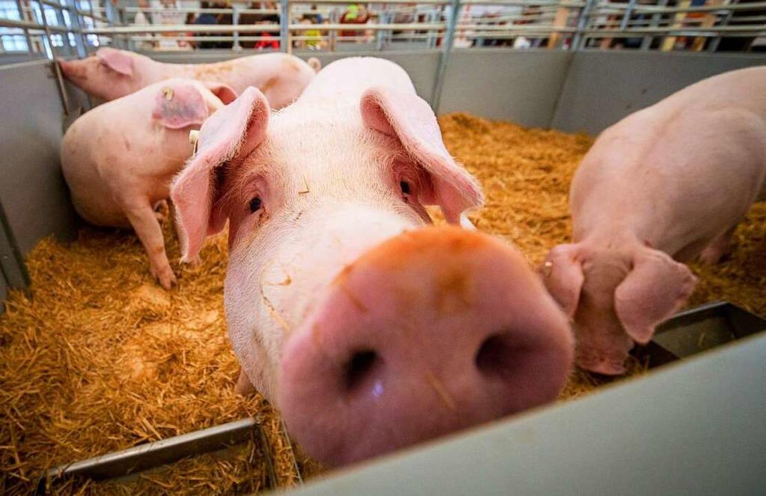 Schwarze  Schafe bei der Schweinezucht  | Foto: Christoph Schmidt (dpa)