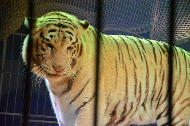 Peta kritisiert Tiger-Auftritt in Zirkus – Kreisveterinäramt hat keine Bedenken
