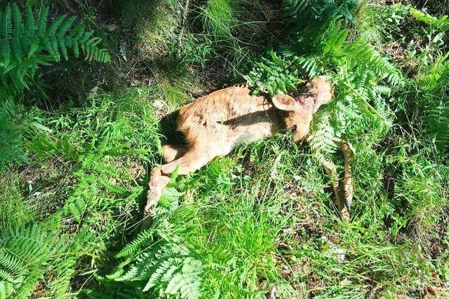 Rehe in Murg von wildernden Hunden gerissen