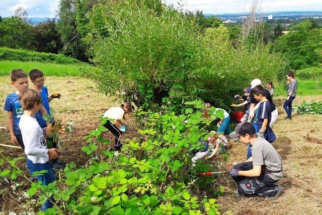 Weiler Schulkinder bringen Kopfweiden am Tüllinger Berg in Form