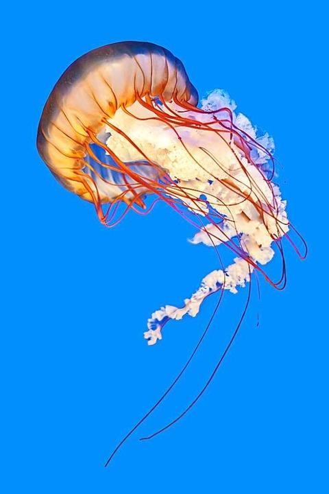 Die Kompassqualle lebt im Atlantik, im Mittelmeer und  der Nordsee.  | Foto: leeyiutung  (stock.adobe.com)