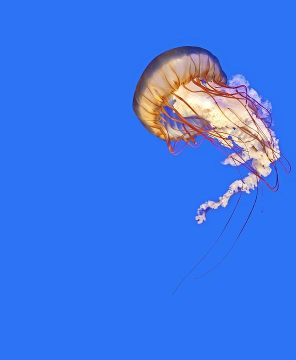 Die Kompassqualle lebt im Atlantik, im Mittelmeer und  der Nordsee.  | Foto: leeyiutung - stock.adobe.com