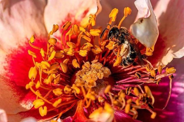 Diese Wildbiene sammelt Pollen und Nektar in einer Rosenblüte