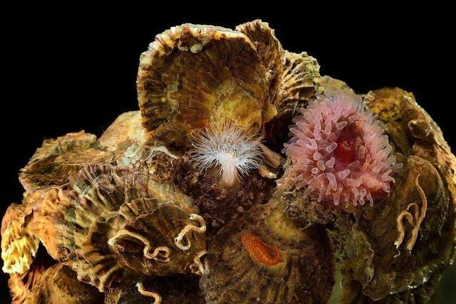 Die Auster soll in der Nordsee wieder heimisch werden