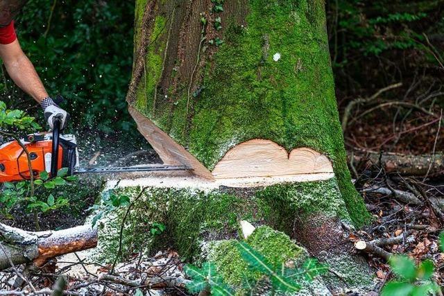 Eiche im Aichelepark wird gefällt – mit drei anderen Bäumen im Stadtgebiet