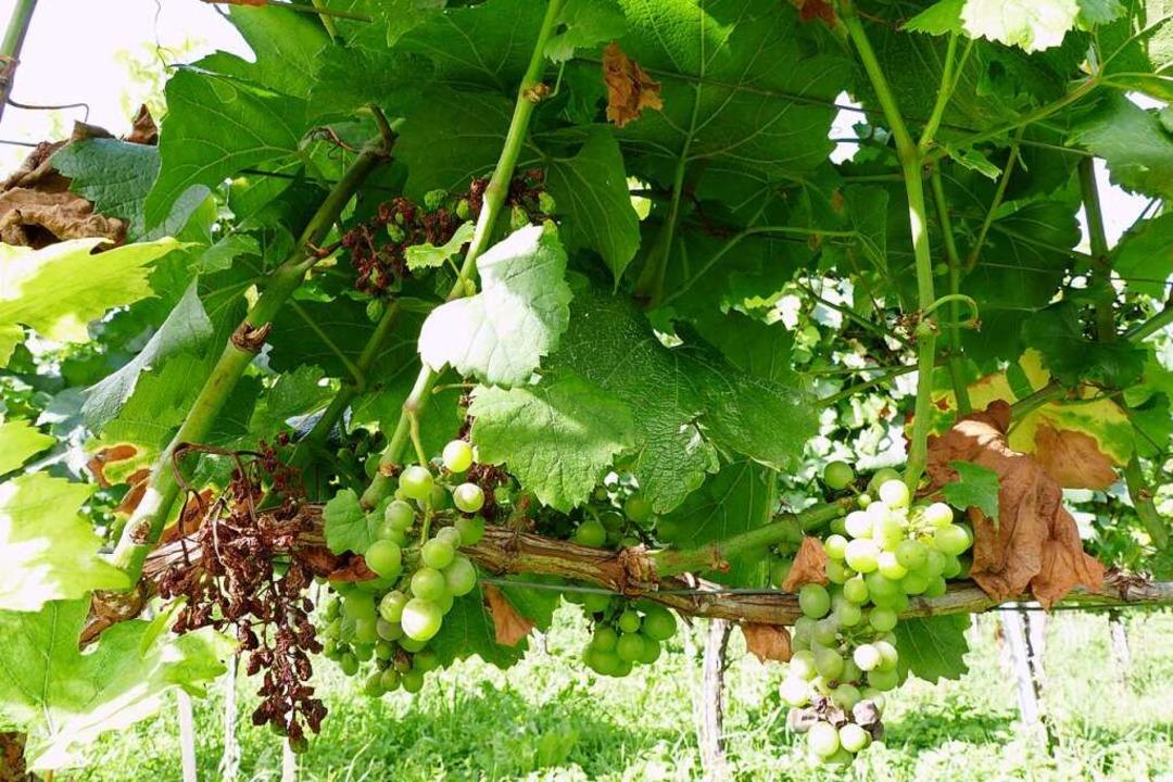 Verdörrte Trauben, vertrocknete Blätte...etzen den Weinreben in diesem Jahr zu.  | Foto: Susanne Ehmann